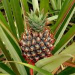 pineapplefarm